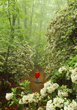 Hiker in Mountain Laurel at Indian Rocks, Blue Ridge Parkway, Virginia