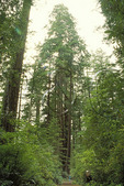 Visitor in the Lady Bird Johnson Grove, Redwoods National Park, California