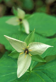 White Trillium, Great Smoky Mountains National Park, North Carolina
