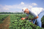 Picking Strawberries, Virginia Beach, Virginia