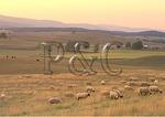 Sheep Graze at Sunset, Swoope, Virginia