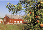 Apples and Barn, Winchester, Virginia