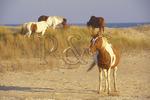 Wild Ponies In the Dunes, Chincoteague National Wildlife Refuge, Virginia