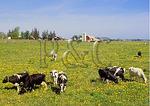 Dandelions and Cows, Milo Center, New York