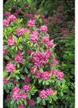 Wild Rhododendron, Craggy Gardens, Blue Ridge Parkway, North Carolina