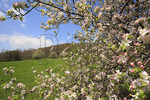 Apple Bloom, Appalachian Trail, Beagle Gap, Shenandoah National Park, Virginia