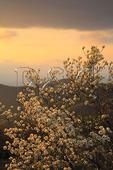 Dogwood Bloom at Sunset, Shenandoah National Park, Virginia