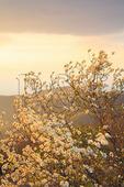 Dogwood Bloom in Wind at Sunset, Shenandoah National Park, Virginia