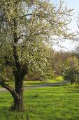 Blooming Apple Tree Beside Appalachian Trail and Skyline Drive, Browns Gap, Shenandoah National Park, Virginia