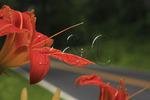 Lillies along the Skyline Drive, Shenandoah National Park, Virginia