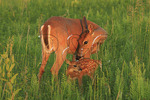 Doe cleaning White Tail Fawn in Shenandoah National Park, Virginia