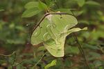 Mating Luna Moths, Shenandoah National Park, Virginia