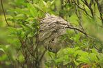 Bees Nest beside Appalachian trail, Turk Gap, Shenandoah National, Park Virginia