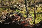 Ruffed Grouse, Hawksbill, Appalachian Trail , Shenandoah National Park, Virginia