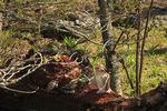 Ruffed Grouse Courtship Drumming, Hawksbill, Appalachian Trail , Shenandoah National Park, Virginia