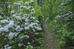 Mountain Laurel blooming on the Appalachian Trail, Sunrise, Blackrock Mountain, Shenandoah National Park, Virginia