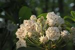 Mountain Laurel blooming on the Appalachian Trail, Blackrock Mountain, Shenandoah National Park, Virginia