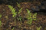 Ferns in Burned Forest, Blackrock Mouintain, Shenandoah National Park, Virginia