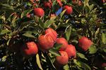 Apples, Roseland, Virginia