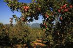 Apple Orchard, Roseland, Virginia