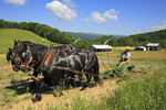 Team of Percheron Horses Plowing, Middlebrook, Virginia