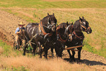 Team of Percheron Horses Plowing, Middlebrook, Virginia