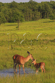 White Tail Fawn and Doe in Shenandoah National Park, Virginia