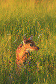 White Tail Fawn in Shenandoah National Park, Virginia