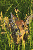White Tail Fawn in nest, Shenandoah National Park, Virginia