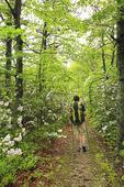 Hiker and Mountain Laurel blooming on the Appalachian Trail, Sawmill Ridge, Shenandoah National Park, Virginia