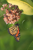 Monarch Butterfly and Milkweed, Shenandoah National Park, Virginia