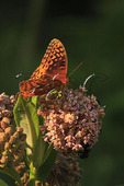 Butterfly on Milkweed, Shenandoah National Park, Virginia