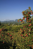 Apple Orchard, Roseland, Virginia
