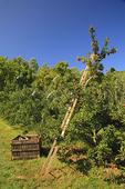 Apple Orchard, Massies Mill, Virginia