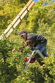 Picking Apples in Apple Orchard, Massies Mill, Virginia