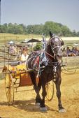 Mule show at County Fair, Rockingham County, Shenandoah Valley, Virginia