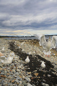 Sea Gulls, Seawall, Acadia National Park, Maine