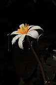 Bloodroot, Shenandoah National Park, Virginia