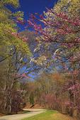 Redbud, Blue Ridge Parkway, Virginia