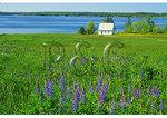 Lupine bloom, Sargentville, Maine