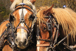 Draft horses waiting to plow field at Spring Planting Festival, Lora Blevins Homesite, Bandy Creek Area, Big South Fork National River and Recreation Area, Oneida, TN