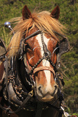 Draft horse waits to plow field at Spring Planting Festival, Lora Blevins Homesite, Bandy Creek Area, Big South Fork National River and Recreation Area, Oneida, TN