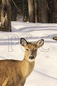 White Tail Deer, Canaan Valley State Park, Davis, West Virginia