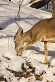 White Tail Deer Searchung for Food, Canaan Valley State Park, Davis, West Virginia
