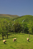 Cattle grazing in Germany Valley with Spruce Mountain in background, Judy Gap, West Virginia