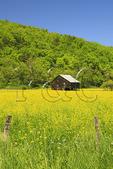 Barn in field of yellow wildflowers, near Judy Gap, West Virginia