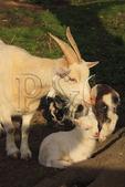 Farm goats at Old Fort Harrod State Park, Harrodsburg, Kentucky