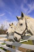 Work Horses at Shaker Village of Pleasant Hill, Harrodsburg, Kentucky