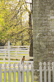 Robin perched on fence at Shaker Village of Pleasant Hill, Harrodsburg, Kentucky
