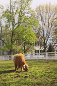 Scottish Highland Cow grazes across from Centre Family Dwelling at Shaker Village of Pleasant Hill, Harrodsburg, Kentucky